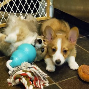 Our Corgi Kids